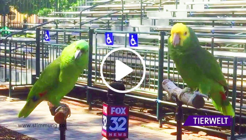 Das Interview dieser Papageien wird in die Geschichte des Fernsehens eingehen. Unglaublich talentierte Jungs!