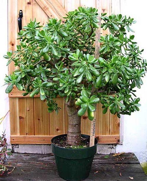 Wenn du einen wachsenden Geldbaum hast - finde heraus, was für eine Wunderpflanze du in deinem Haus bewahrst!
