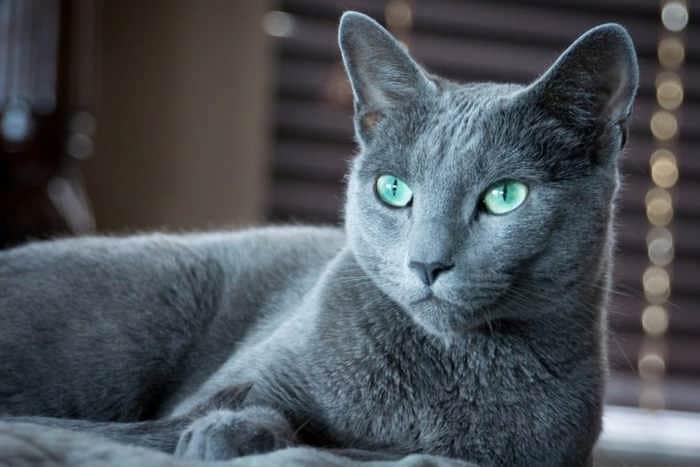 Top 10 der teuersten und seltensten Katzenrassen!