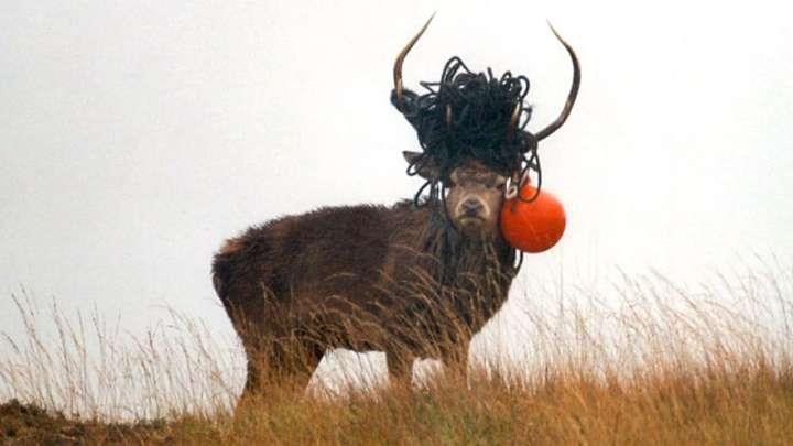 Der Hirsch ist in Fischernetzen verstrickt!