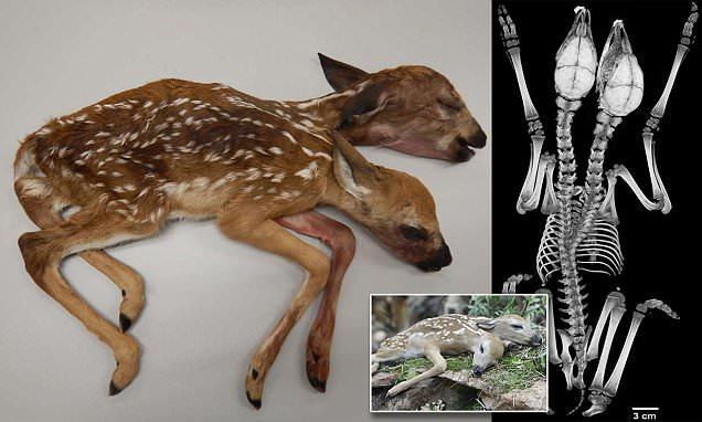 Der Amerikaner hat im Wald statt der Pilze einen zweiköpfigen Hirsch gefunden!
