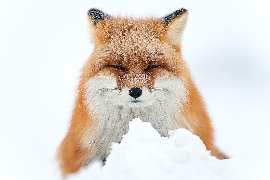 Russischer Bergmann in den Abständen zwischen Arbeit schafft erstaunliche Fotos von Füchsen im Polarkreis!