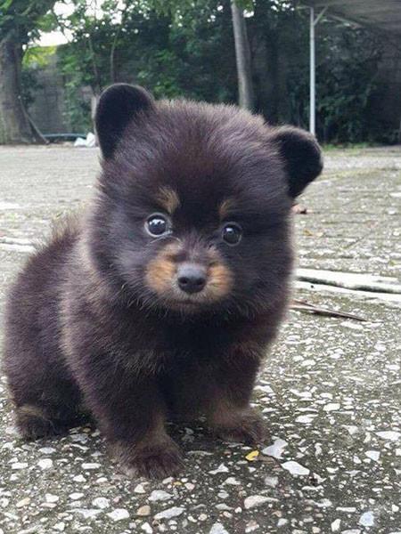 Er brachte einen Welpen nach Hause, aber er wuchs auf ... ein Bär!