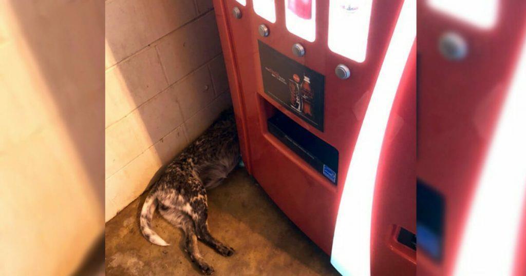 Der Mann möchte sich eine Dose Cola kaufen, sieht aber plötzlich einen Hund am Getränkeautomaten liegen