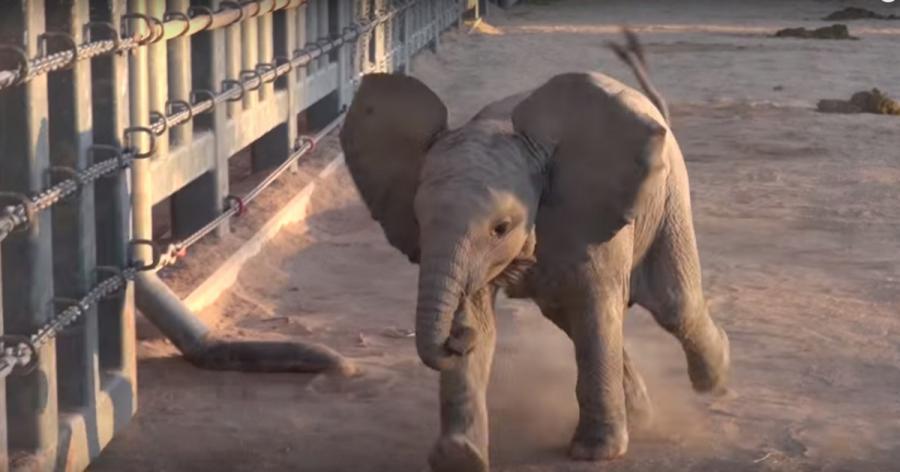 Der kleine Elefant ist immer super aufgeregt, wenn er seine Wärter sieht, was unglaublich süß ist