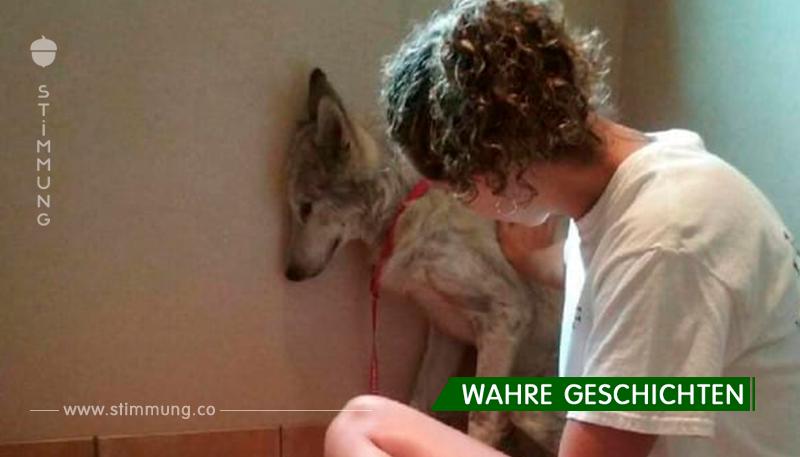 Die Geschichte eines Wolfes, die durch die Vororte von Los Angeles wanderten!