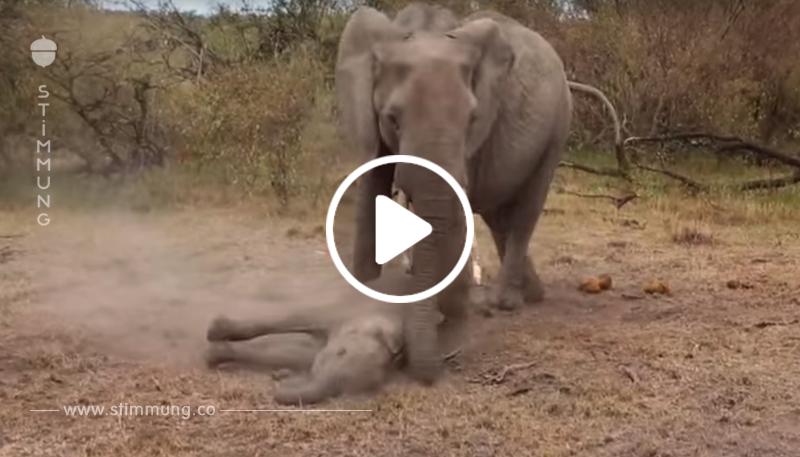 Sie schießen mit einem Pfeil auf ihr Kind. Wie die Elefantenmutter dann reagiert, ist...