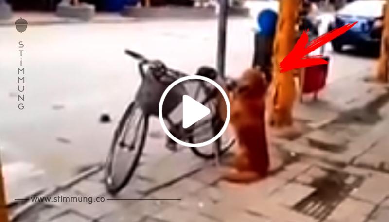 Der Hund bewacht das Fahrrad auf der Straße. Aber warte ab, was bei 0:45 geschieht!
