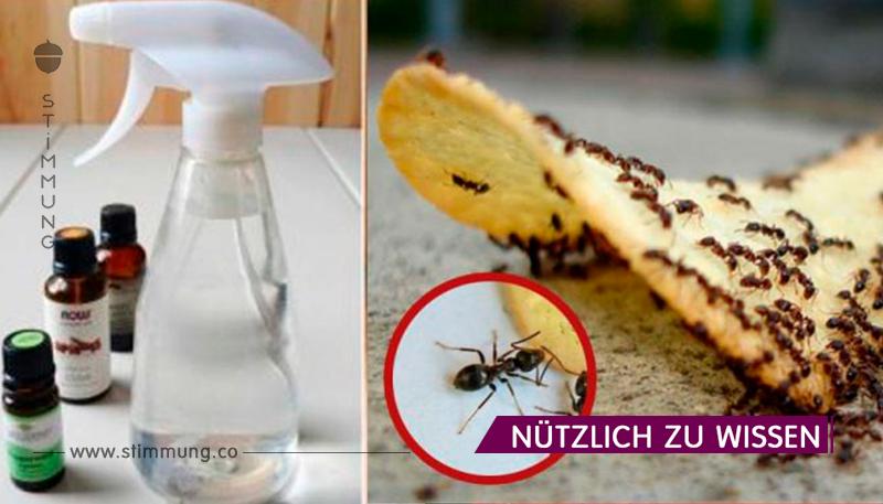 Wie man die Ameisen loswird, die dein Haus bewohnten!