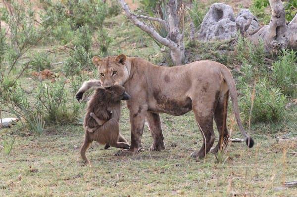 Die Löwin tötete den Affen, bemerkte aber nicht, dass sie ein Baby hatte ... Als sie ihn sah, geschah etwas Unglaubliches!