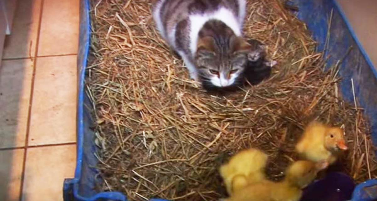 Die Besitzer ließen drei Hühner alleine mit der Katze spielen. Der Anfang des Videos macht Angst, aber schauen Sie bis zum Ende!