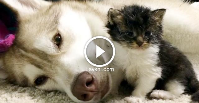 Sie holten ein kleines lebendiges Kätzchen und brachten es nach Hause. Die Reaktion des Husky ist ja etwas!