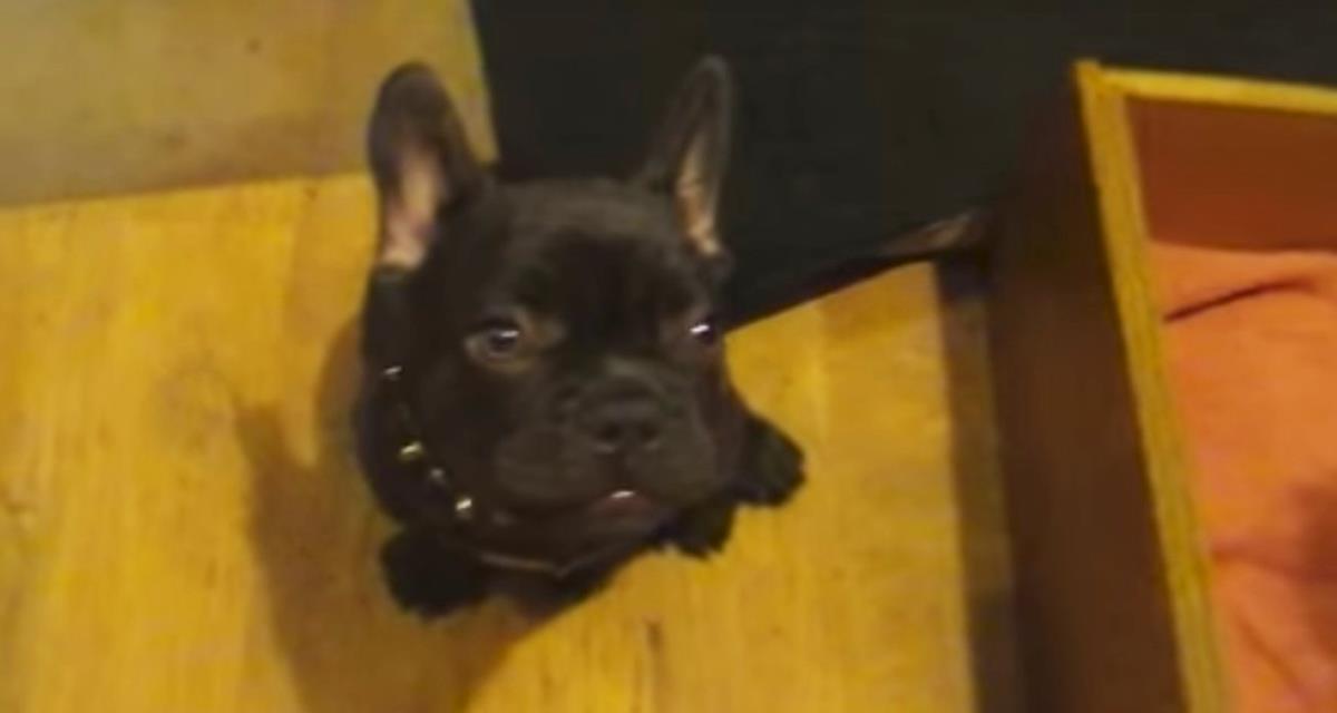 Diese Bulldogge möchte nicht zu seiner Krippe gehen. Die Ernsthaftigkeit seiner Argumente ist überzeugend!
