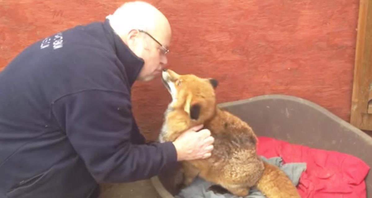 Der Fuchs hört nicht auf, den Mann zu umarmen, der ihn gerettet hat!