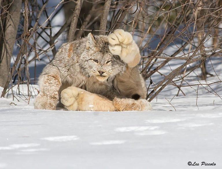 Die seltenste Katzenart der Welt, von der du noch nicht einmal weißt!