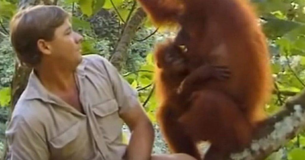 Steve Irwin sitzt auf einem Ast tief im Dschungel, ein emotionaler Moment mit einem Orangutan