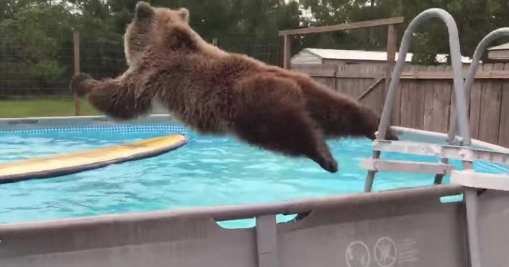 Braunbär sieht einen Pool im Garten – und springt im Handumdrehen hinein!
