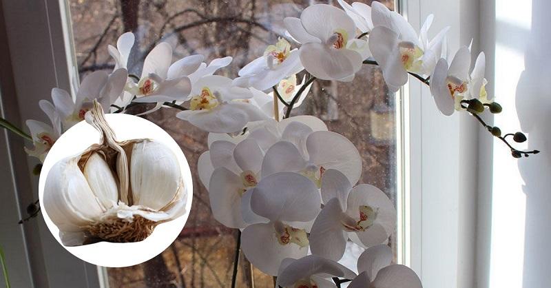 Knoblauch rettet Orchideen! Das ist etwas!