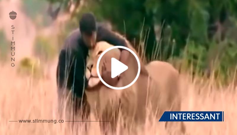 Der Mann näherte sich dem Löwen und bückte sich, die Reaktion des Königs der Tiere wird dich überraschen!