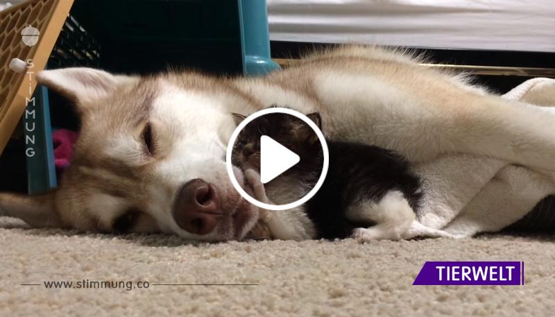 Huskies zeigten ein kleines Waisenkätzchen. Schau dir ihre Reaktion an!