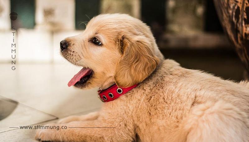 Tierarzt versuchte, Heroin zu schmuggeln – in den Bäuchen von kleinen Hundewelpen