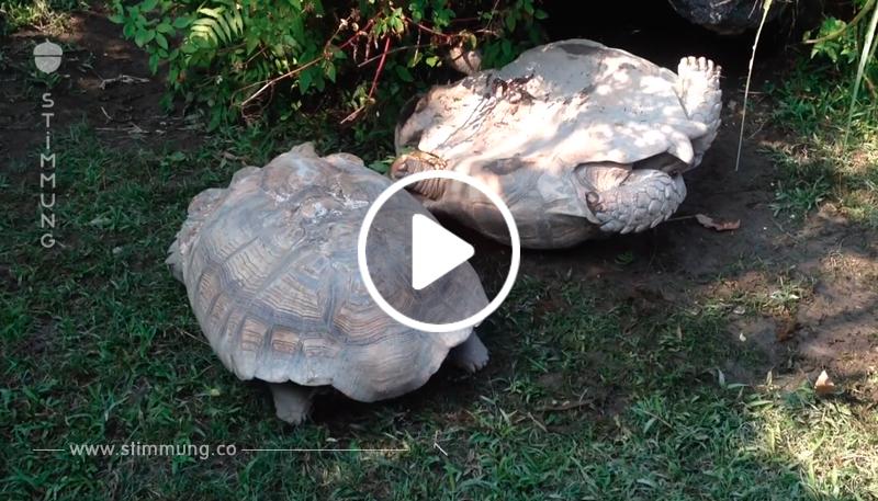 Die Landschildkröte ist auf seinem Rücken gelandet, aber sein Kumpel kommt ihm zu Hilfe