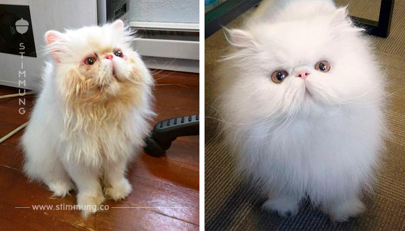 Die Perserkatze hört nicht auf zu lächeln, nachdem der neue Besitzer ihn gerettet hat.