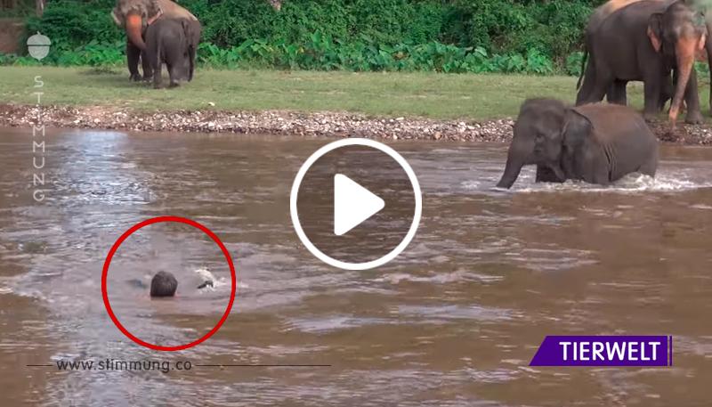 Elefantenpfleger schwimmt im Fluss, was die Elefanten tun, wird dein Herz schmelzen