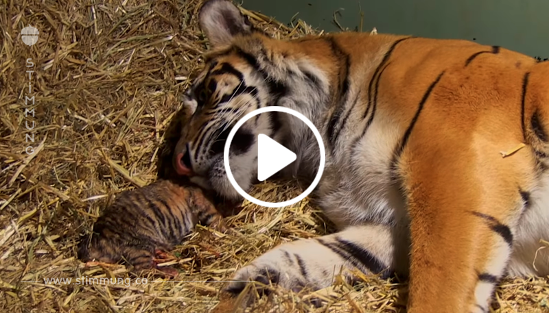 Eine Tigermutter ist gerade beim Gebären. Als dann die Pfleger unter sie schauen… unglaublich!