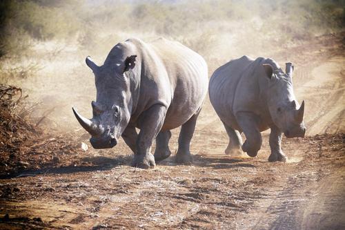 3 Wilderer von einem Rudel Löwen gefressen beim Versuch Nashörner in einem Tierschutzgebiet zu jagen!