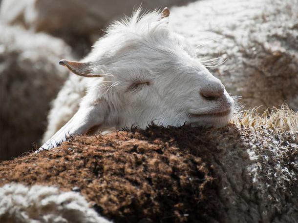 Warum der Kaschmir Boom Ziegen Leid und Sandstürme mit sich zieht