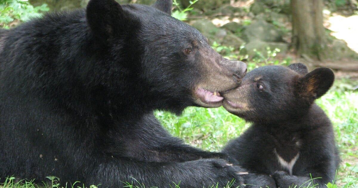 Vater und Sohn löschen Bärenfamilie aus – was sie nicht wissen: Kamera fängt alles ein