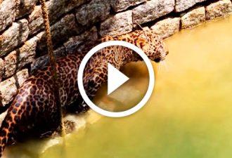 Tapfere Männer aus Indien retteten einen wilden Leoparden, der in den Brunnen fiel. Unglaublich!