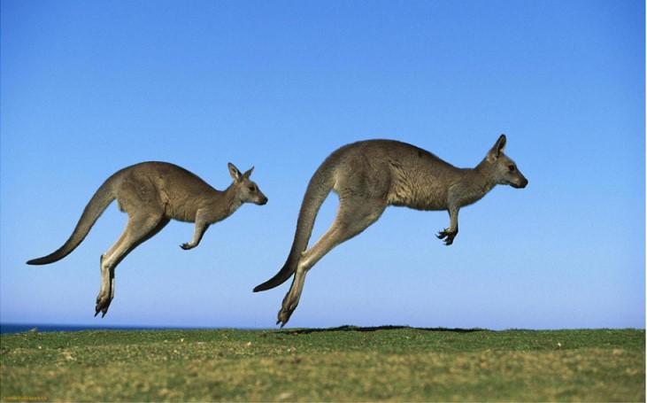 Ein Känguru hat den 19-jährigen Jäger geschlagen, um seine Verwandten zu retten