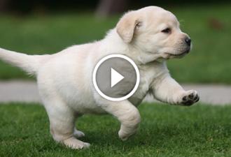 Der Labrador-Welpe wollte dem Besitzer eine Zeitung bringen, aber etwas ging schief ...