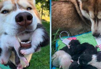 Husky hat das Netz in die Luft gejagt. Sie rettete die neugeborenen Kätzchen und wurde ihre Mutter!