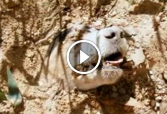 Dieser Hund erhielt 40 Schüsse und wurde lebendig begraben. Aber Retter kamen pünktlich ...