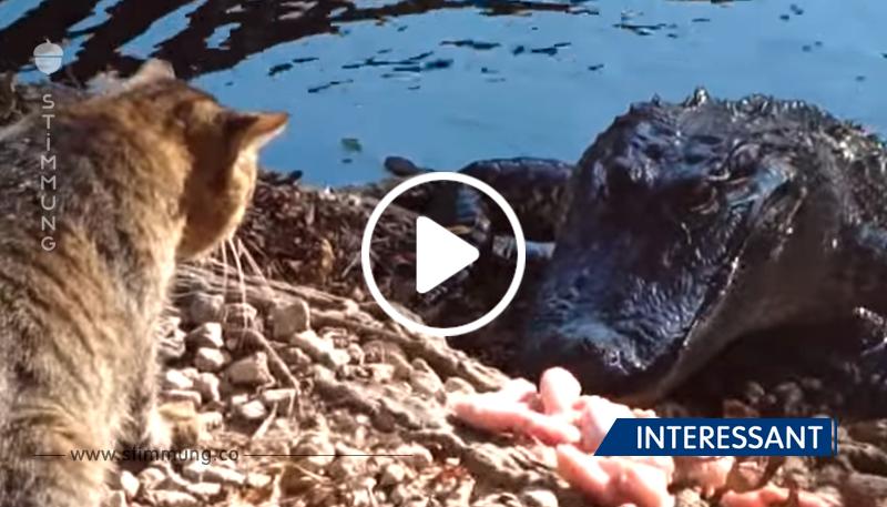 Alligator kroch an Land, um was zu essen, was als nächstes passiert ist schockierend!