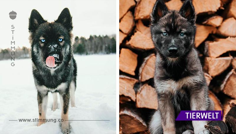 Die fabelhafte Schönheit des Siberian Husky eroberte das Internet!