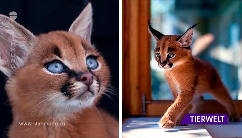 Die Karakala-Kätzchen sind unglaubliche Tiere!