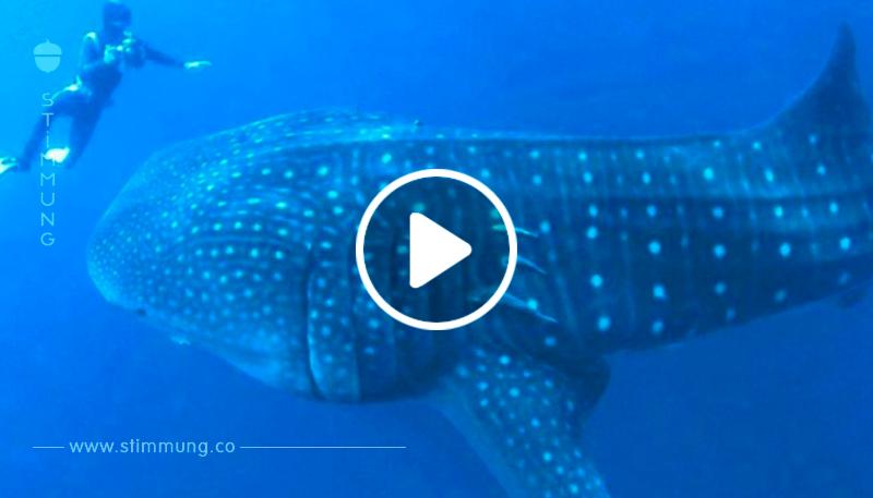 Der Taucher versteht nicht, warum der Walhai so nah herankommt – bis sie die furchtbare Wahrheit sehen!