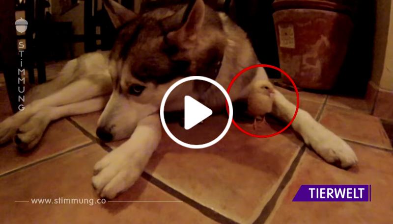 Dieser Husky hat einen sehr ungewöhnlichen Freund. Wenn du ihn siehst, wirst du deinen Augen nicht glauben!