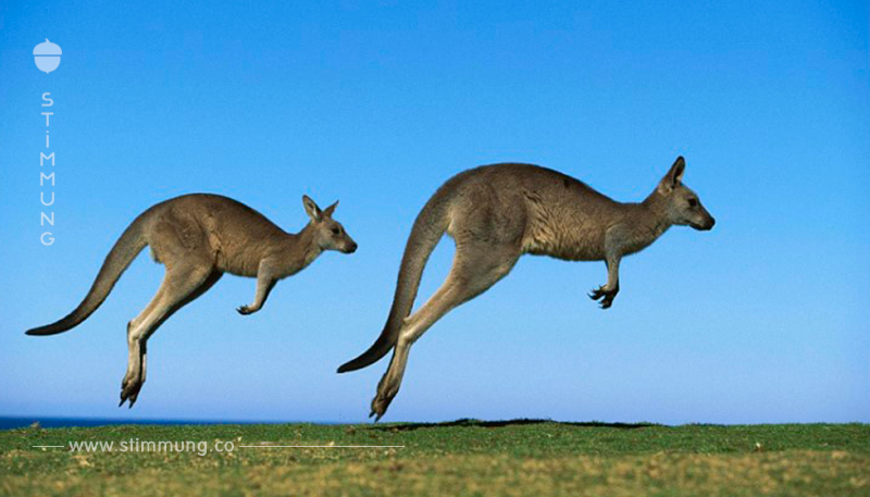 Ein Känguru hat den 19 jährigen Jäger geschlagen, um seine Verwandten zu retten