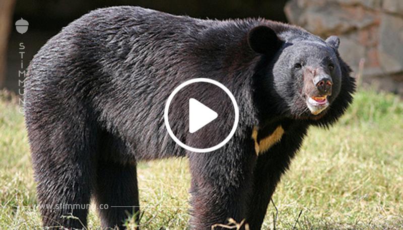 Er brachte einen Welpen nach Hause und wuchs auf ... ein Bär!