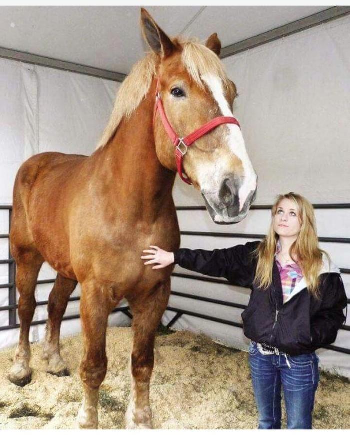 Dies ist das größte Pferd der Welt! Gutaussehend!