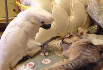 Ein schüchterner Papagei weckt sanft eine Katze! Ich habe so was noch nie gesehen!