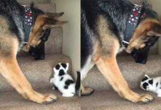 Ein kleines Kätzchen konnte die Treppe nicht hochklettern. Was dieser Hund getan hat, wird dich überraschen!