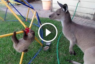 Ein Känguru näherte sich dem Faultier. Seine Reaktion wird Sie erstaunen! Das ist etwas!