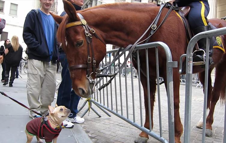 Süße Bulldogge spielt mit einem Polizei Pferd