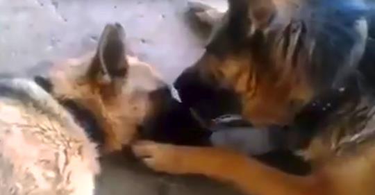 Der Hund küsste seine Freundin nach einer langen Geburt, die sie erlebt hatte. Dieses Video hat Tausende von Internetnutzern berührt.